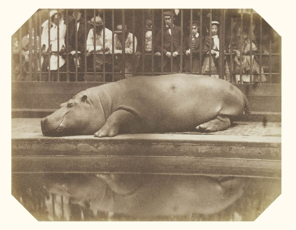 The Hippopotamus at the Regent's Park Zoo, ca. 1855. By the Comte of Montizón.